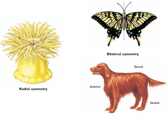 list of synonyms and antonyms of the word symmetrical animals