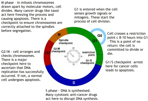 Biology diva chapter 6 b cytokinesis process of cell division in which the cytoplasm is divided to form two identical cells ccuart Image collections